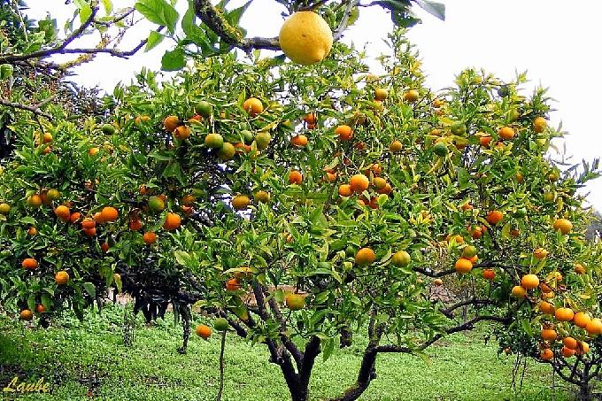 árboles-frutales